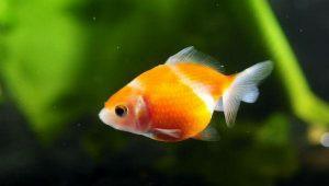 pez, vida
